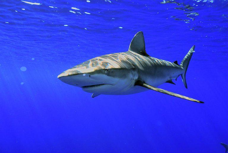 Tiburón de las Galápagos